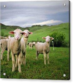 Lambs In Wyoming Acrylic Print by Danielle D. Hughson
