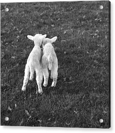 Lambs Acrylic Print by Michael Standen Smith