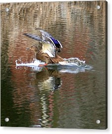 Landing Duck Acrylic Print by Valia Bradshaw