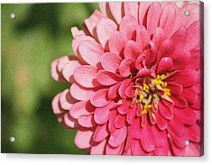 Acrylic Print featuring the photograph Large Pink Zinnia by Donna  Smith