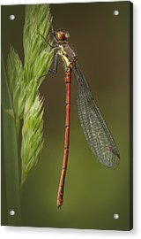 Large Red Damselfly Acrylic Print by Andy Astbury