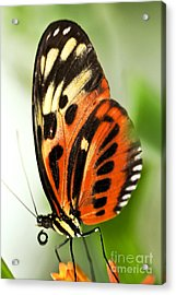 Large Tiger Butterfly Acrylic Print by Elena Elisseeva