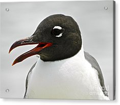 Acrylic Print featuring the photograph Laughing Gull Looking Right by Eve Spring