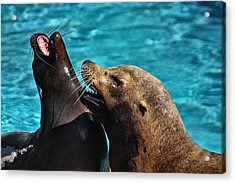 Laughing Seals Acrylic Print by Karol Livote