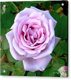 Acrylic Print featuring the photograph Lavendar Rose by Alys Caviness-Gober