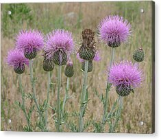 Lavendar Thistles In Bloom Acrylic Print