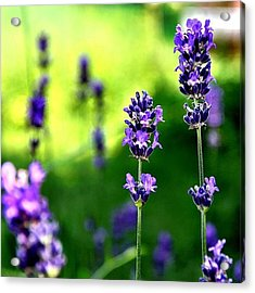 #lavendel In Der Abendsonne ~ #lavender Acrylic Print