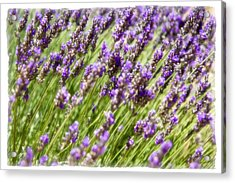 Acrylic Print featuring the photograph Lavender 2 by Ryan Weddle