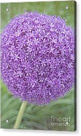 Lavender Ball Acrylic Print