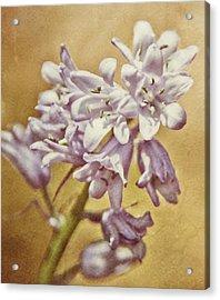 Lavender Bloom Acrylic Print