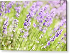 Lavender Blooming In A Garden Acrylic Print by Elena Elisseeva
