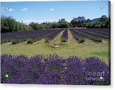 Lavender Farm Acrylic Print by Laurel Thomson