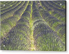 Lavender Field Acrylic Print by Yves ANDRE