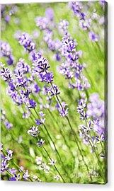 Lavender In Sunshine Acrylic Print by Elena Elisseeva