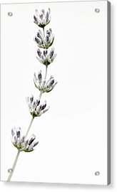 Lavender Acrylic Print by Laura Melis