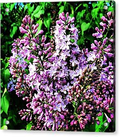 #lavender  #shrub #flower #sevierville Acrylic Print
