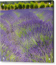 Acrylic Print featuring the photograph Lavender3 by Ryan Weddle