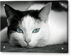 Lazy Cat Acrylic Print by Claudia Moeckel