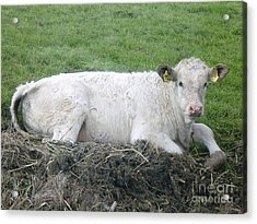 Lazy Cow Acrylic Print by Anastasis  Anastasi