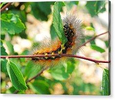 Leaf Eating Caterpillar Acrylic Print