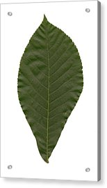 Leaf Of Mockernut Hickory Acrylic Print by Mary Ann Southern