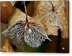 Leaf Skeleton Acrylic Print by Scott Holmes