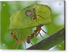 Leafcutter Ants Costa Rica Acrylic Print