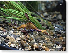 Leafy Dragon Seahorse - 0001 Acrylic Print by S and S Photo