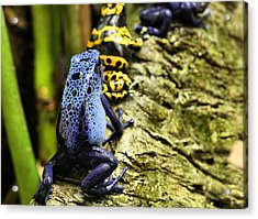 Leap Frog Acrylic Print by JC Findley