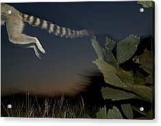 Leaping Ring-tailed Lemur  Acrylic Print by Cyril Ruoso