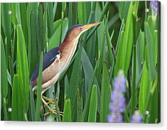 Acrylic Print featuring the photograph Least Bittern by Jennifer Zelik