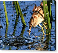 Least Bittern With A Molly Acrylic Print