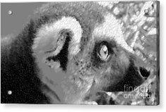Lemur Ll Acrylic Print by John From CNY