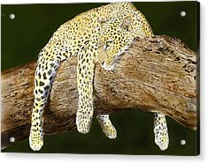 Leopard At Rest Acrylic Print by Yvonne Scott