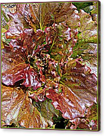 Lettuce Acrylic Print by Mindy Newman