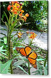 Life Cycle Of Monarch Acrylic Print