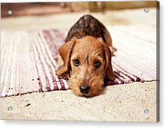 Light Brown Dachshund Puppy Acrylic Print