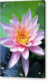 Light Pink Water Lily Acrylic Print by Kicka Witte