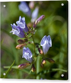 Light Purple Wild Penstemons  Acrylic Print by Paul Cannon