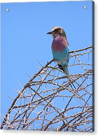 Lilac Breasted Roller Acrylic Print by Louise Peardon
