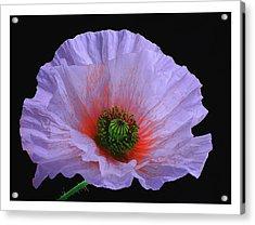 Lilac Poppy Acrylic Print by A. McKinnon Photography
