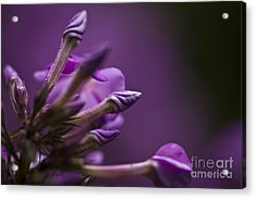 Acrylic Print featuring the photograph Lilac Spirals. by Clare Bambers
