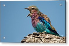Lilacbreasted Roller Acrylic Print