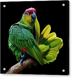 Lilacine Amazon Parrot Isolated On Black Backgro Acrylic Print by Photo by Steve Wilson