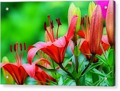 Lilies Ascending Acrylic Print by Fraida Gutovich