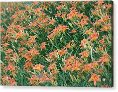 Lilies Of The Field Acrylic Print
