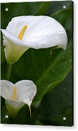 Lillies Acrylic Print by Dickon Thompson