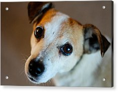 Lilly - The Jack Russell Acrylic Print by Callum Mcleod