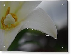 Lily Of Tears Acrylic Print by Robyn Stacey