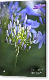 Lily Of The Nile Acrylic Print by Gwyn Newcombe